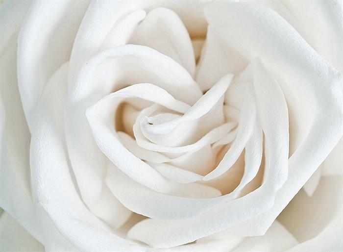 Фотообои DIVINO DECOR A-061 Роза белая 200х147см - фото 15356