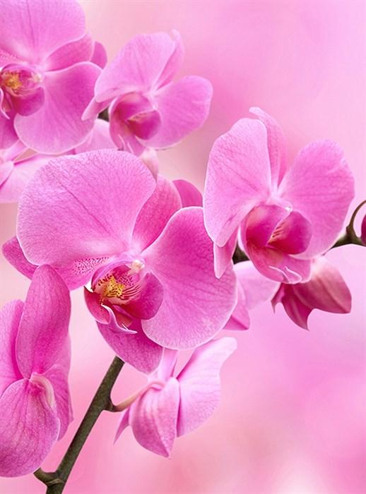 Фотообои DIVINO DECOR B-089 Орхидея розовая 200х270см - фото 15578