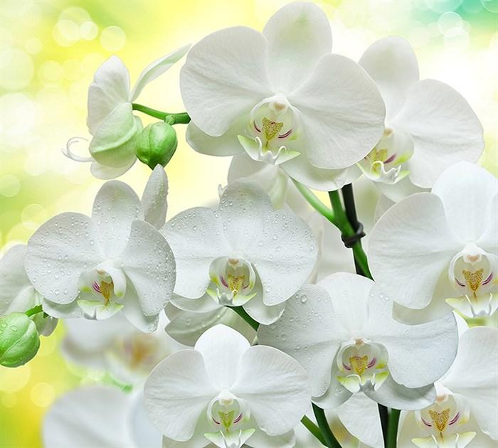 Фотообои DIVINO DECOR B-085 Белые орхидеи 300х270см - фото 15641