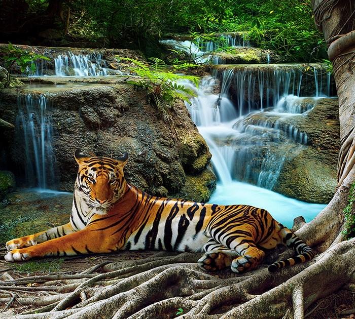 Фотообои DIVINO DECOR B-074 Тигр у водопада 300х270см - фото 15898