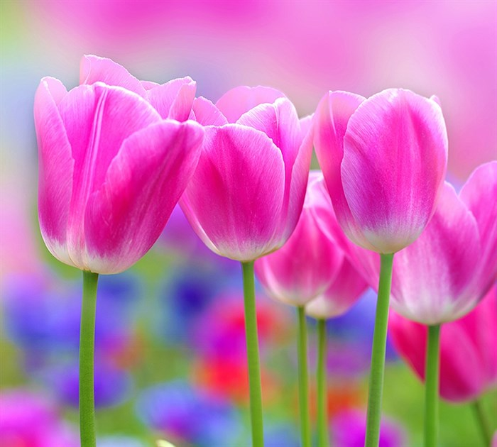 Фотообои DIVINO DECOR C-153 Тюльпаны 300х270см - фото 17633