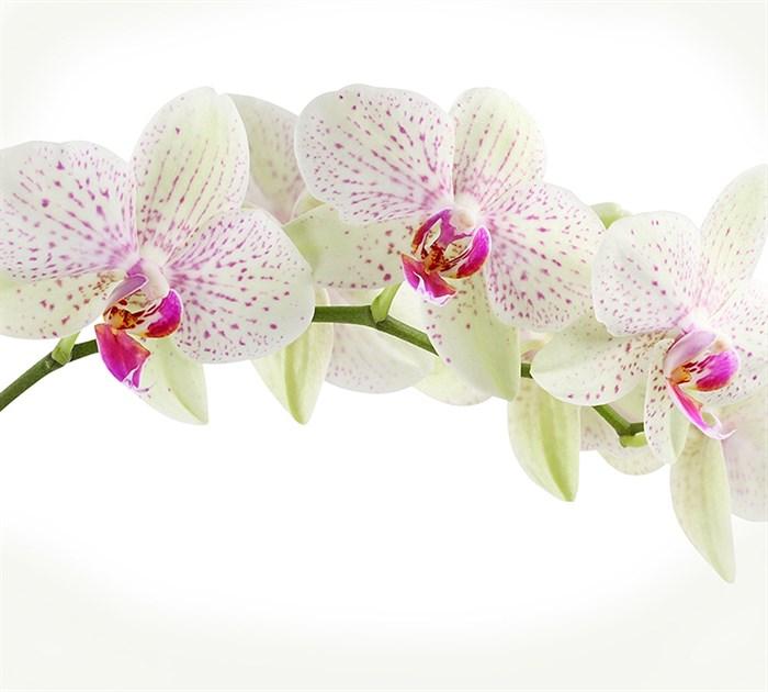 Фотообои DIVINO DECOR C-394 орхидея веточка 300х270см - фото 17651
