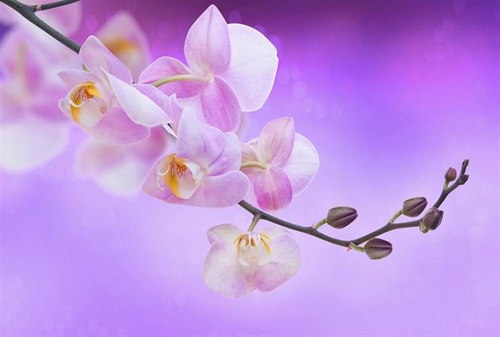 Фотообои DIVINO DECOR K-067 Орхидея на розовом фоне 400х270см - фото 23900