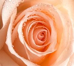 Фотообои DIVINO DECOR T-218 Роса на розе 300х270см