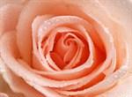 Фотообои DIVINO DECOR T-181 Персиковая роза 200х147см - фото 14623