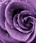 Фотообои DIVINO DECOR A-038 Роза фиолет 200х238см - фото 15392