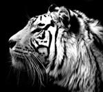 Фотообои DIVINO DECOR C-163 Тигр 300х270см - фото 16796