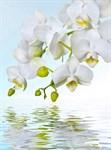 Фотообои DIVINO DECOR C-244 Орхидея над водой 200х270см - фото 17051