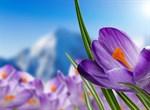 Фотообои DIVINO DECOR C-314 Альпийские крокусы 200х147см - фото 17114