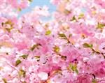 Фотообои DIVINO DECOR C-023 Ветви вишни 300х238см - фото 17233