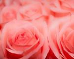 Фотообои DIVINO DECOR C-385 Розы макро 300х238см - фото 17294