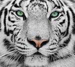 Фотообои DIVINO DECOR C-077 Белый тигр 300х270см - фото 18590