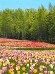 Фотообои DIVINO DECOR D-093 Поле тюльпанов 200х270см - фото 19423